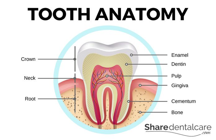 Tooth Anatomy and Root Canal Complications