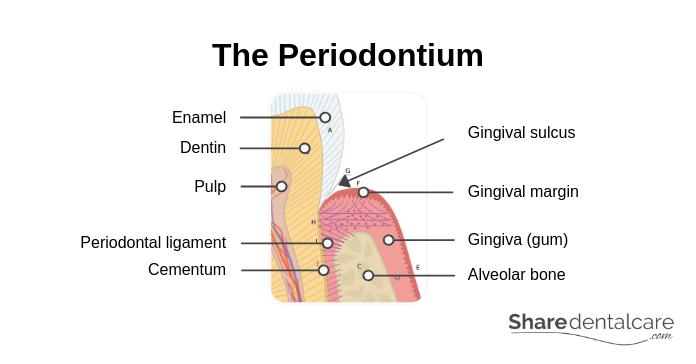 The Periodontium