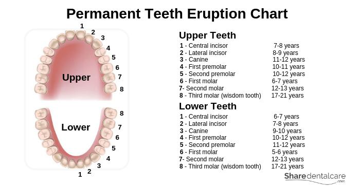 Permanent Teeth Eruption Chart