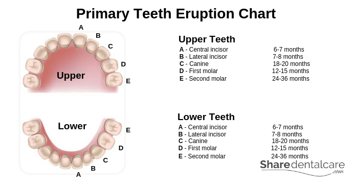 Primary Teeth Eruption Chart
