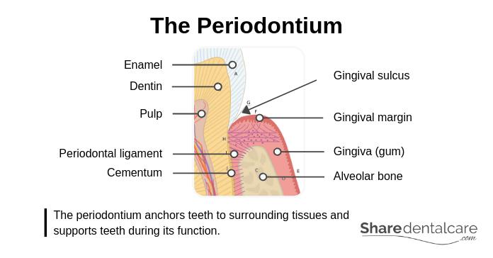 The Periodontium (Tooth Anatomy)